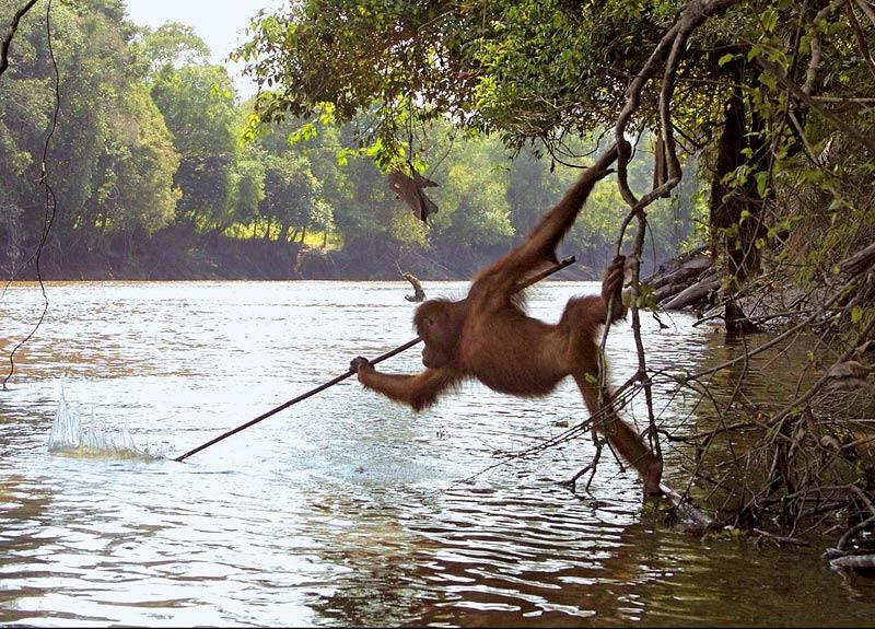 Oranki käyttää kalastaa keihäällä